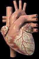 Las células cardíacas si se regeneran